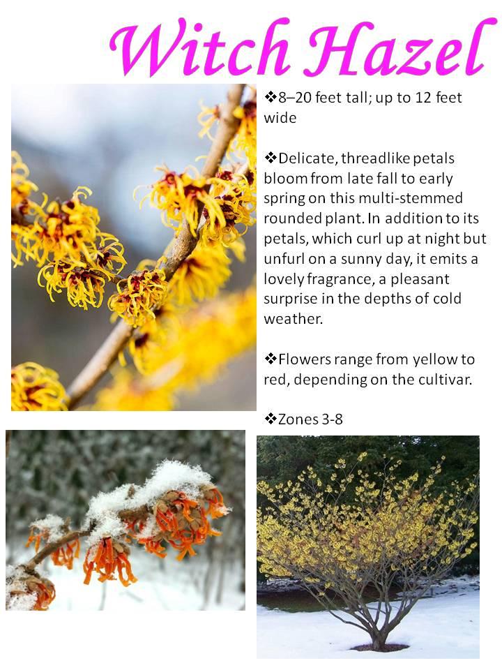 Winter- Witch Hazel.jpg