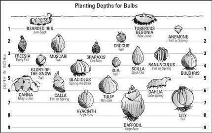 Planting Depths for Bulbs.jpeg