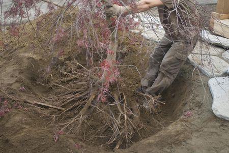 Root pruning.jpg