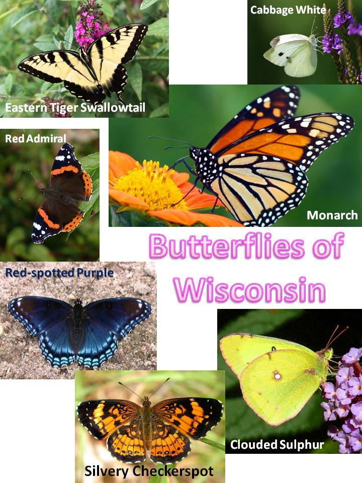 Butterflies of WI.jpg