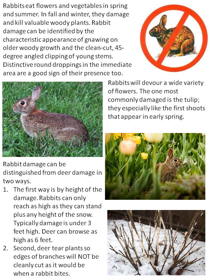 How To Identify Rabbit Damage