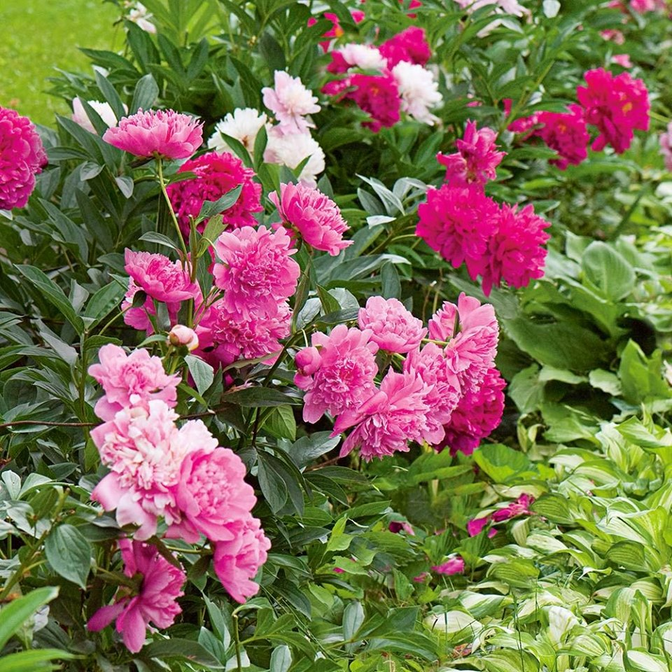 How To Grow Care For Spring Peonies D D Excavating And