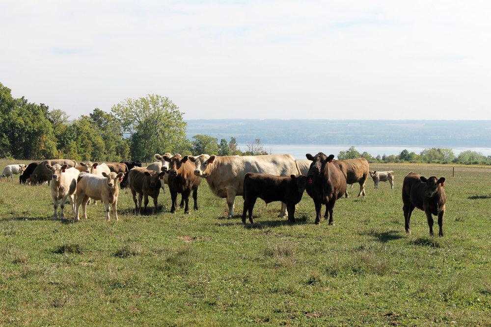 GRASS FED BEEF - PRIMAL - CUSTOM CUTS - BURGERS & GROUND
