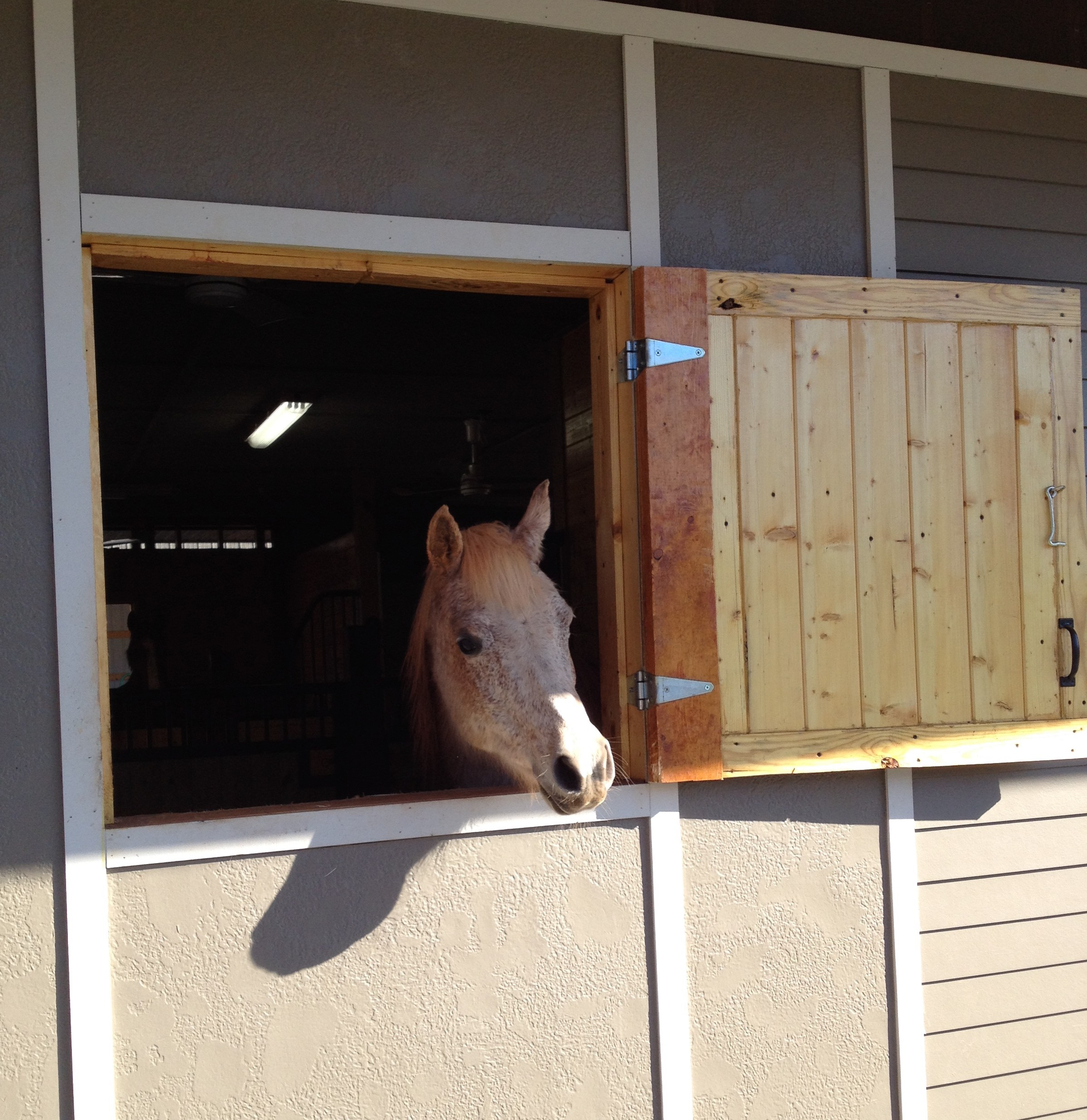 Garnet the Arabian cutie likes to greet us out here little window in the morning.  Here she is waiting for the farrier to show up while she would rather be out in the sunshine!