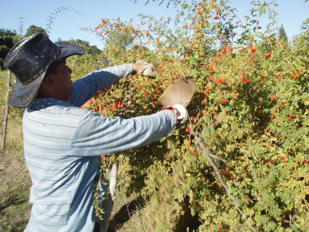 rosehip picking.JPG