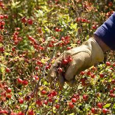 rosehips picking.jpg