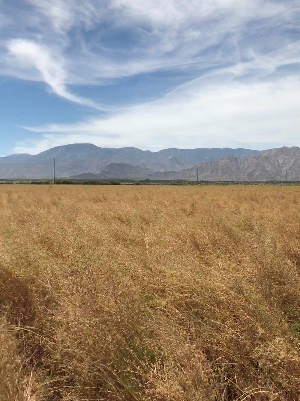Coriander Field 3.jpg