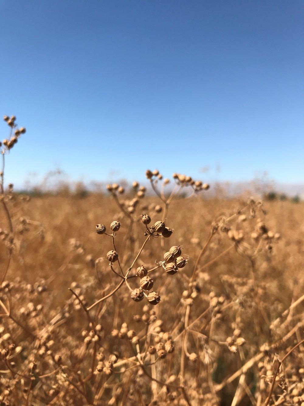 Coriander Field 2.jpg