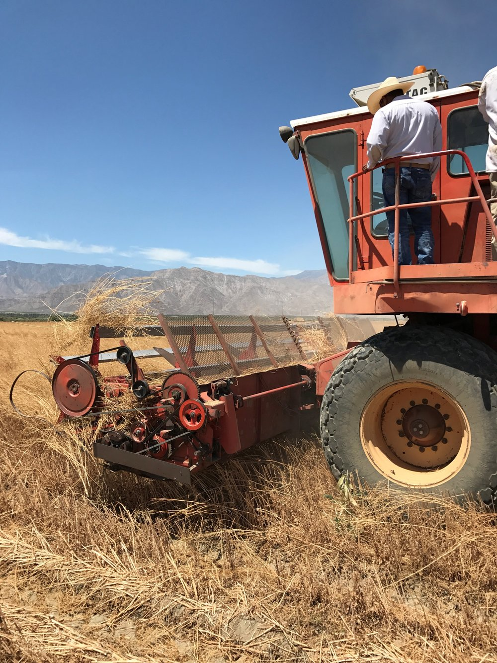 Coriander Harvest.jpg