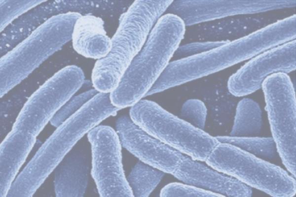 The Escherichia Coli bacteria shown under a microscope