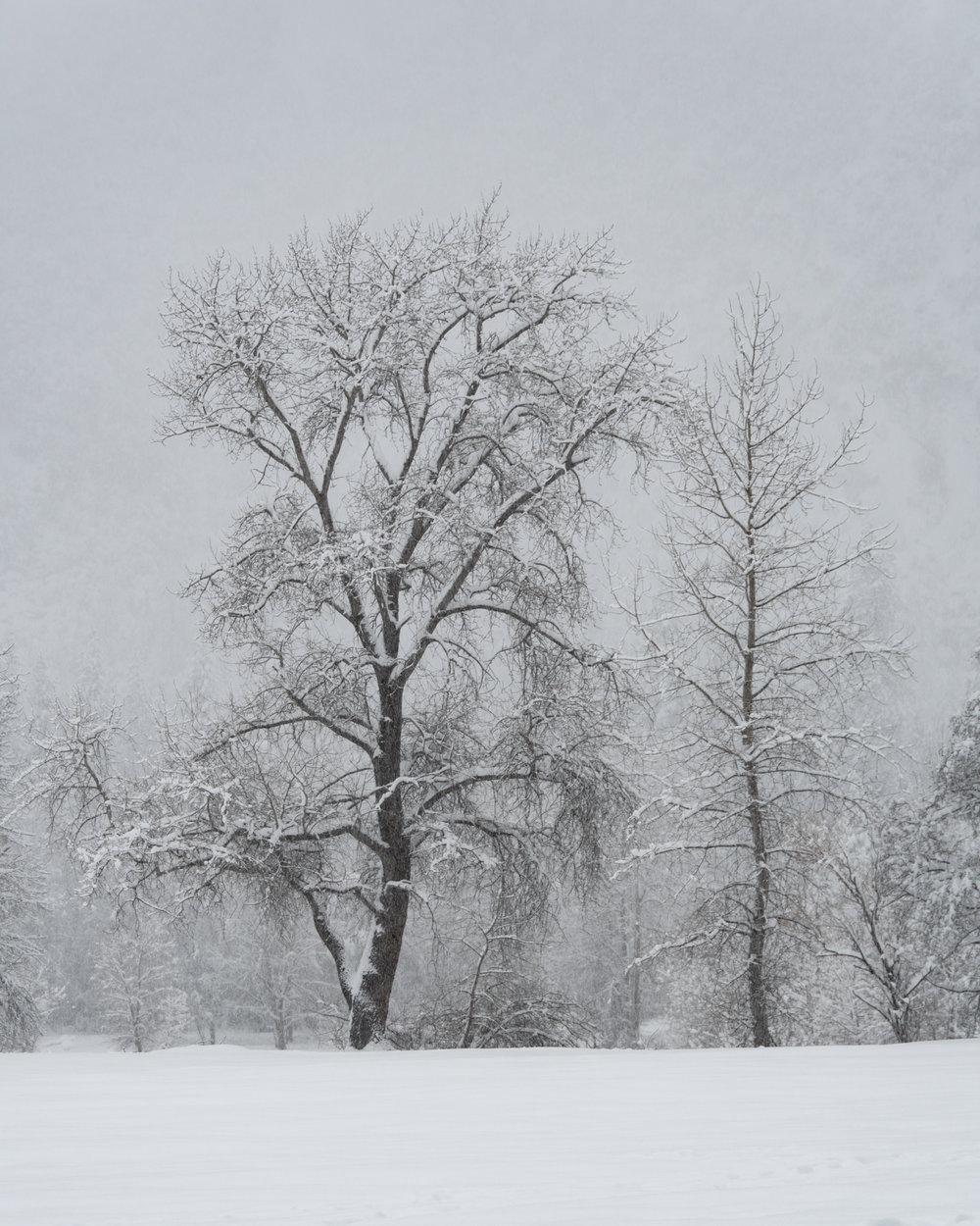My Favorite Tree - Yosemite National Park