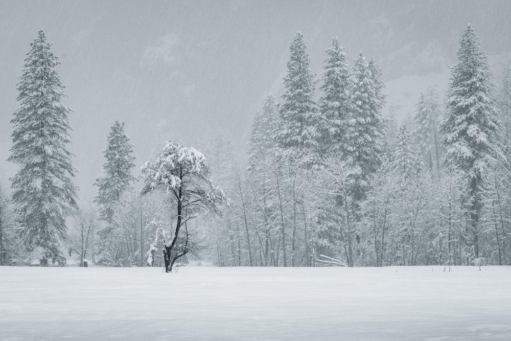 Little Tree Alone - Yosemite National Park