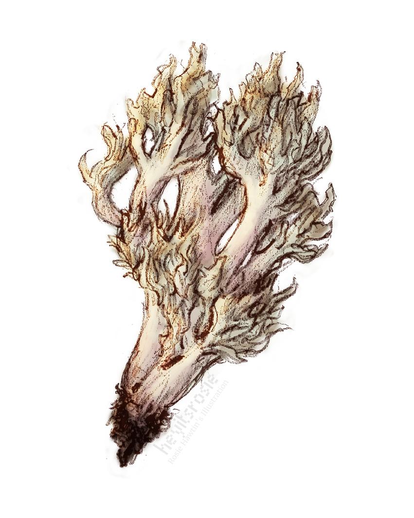 Crested Coral Mushroom