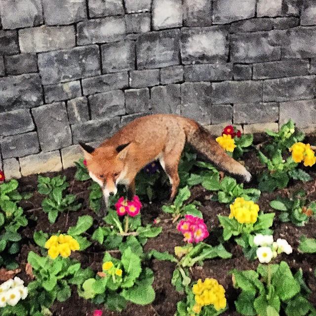 #canary #wharf #urban #fox (at Jubilee Park)