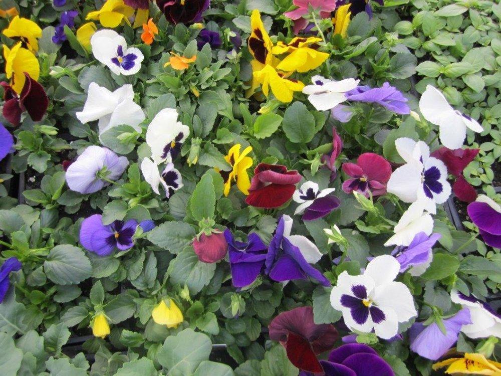Pansies in Bloom!