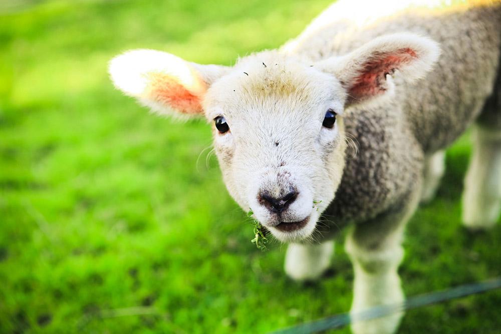 lamb-1000px.jpg