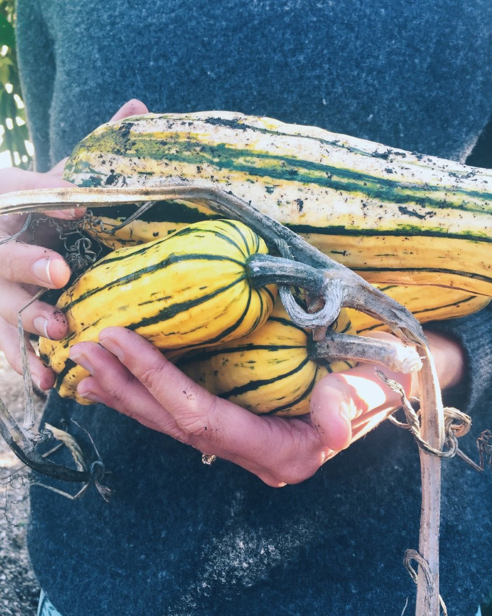 Delicata Winter Squash