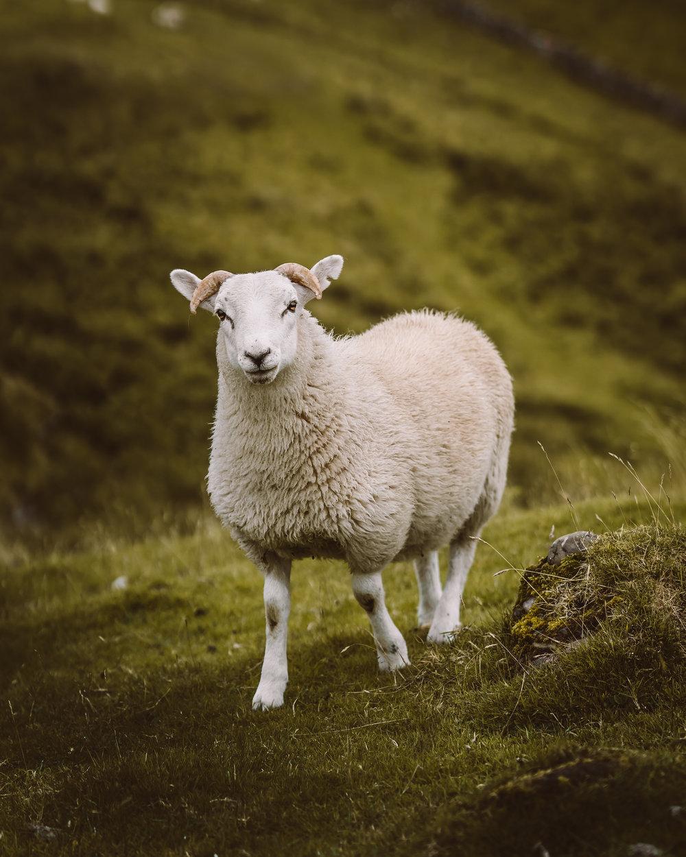 sheepy-2.jpg