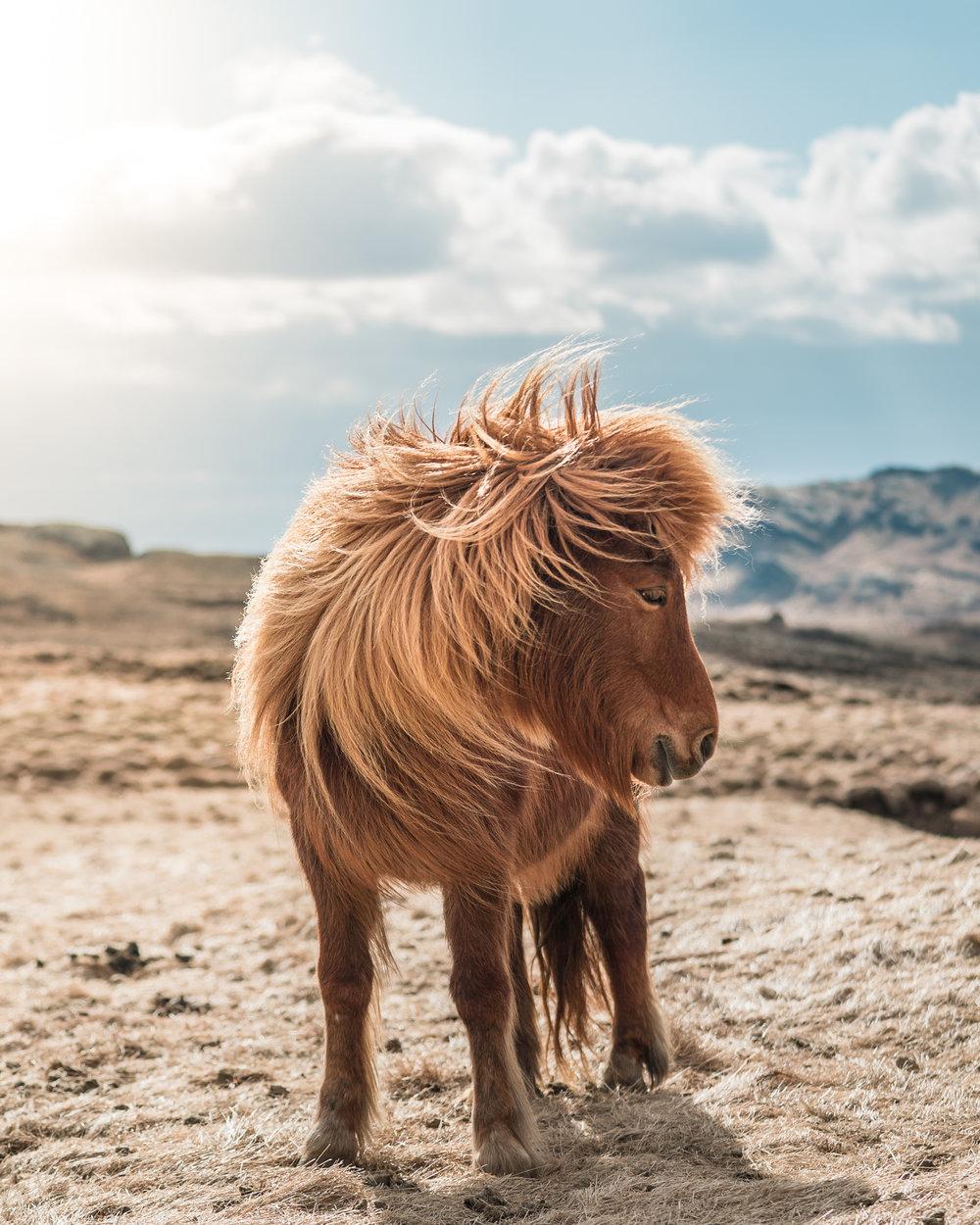 Iceland-Horses-7.jpg