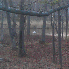 swan in the distance.png
