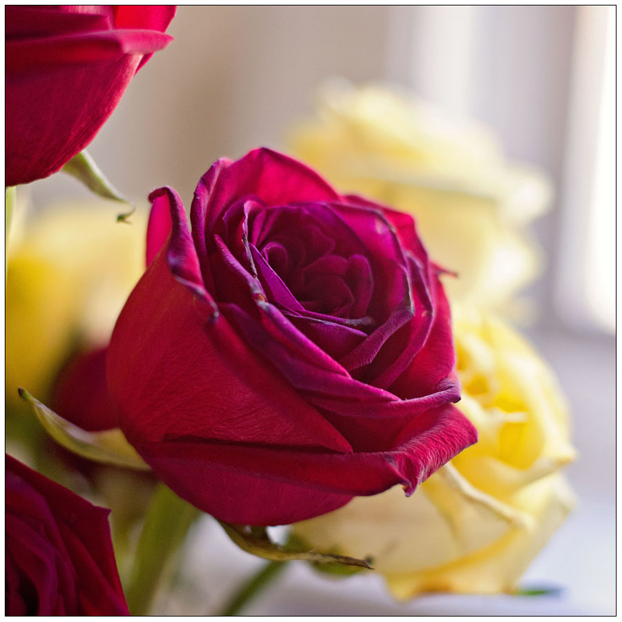red yellow roses 2019 square w.jpg