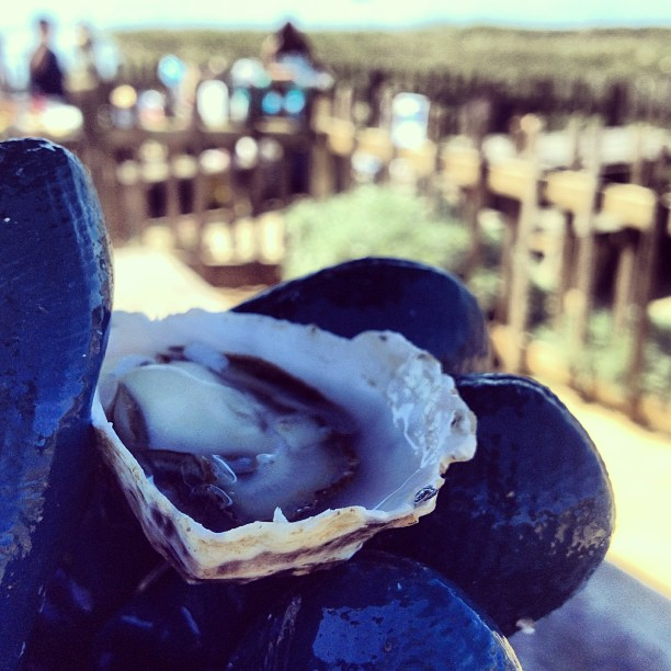 #14 Shucking a Hog Island Kumamoto at the farm in Tomales Bay brought my oyster adventure full circle.