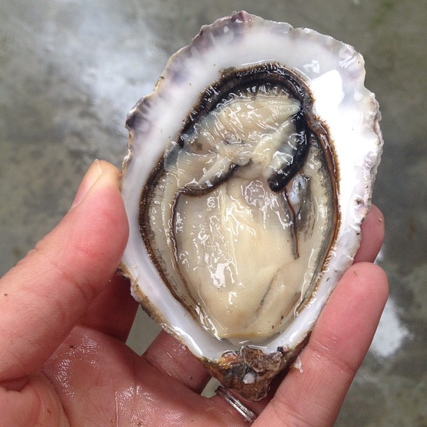 #11 Blown away by this ultra plump Moyasta oyster from Ireland.
