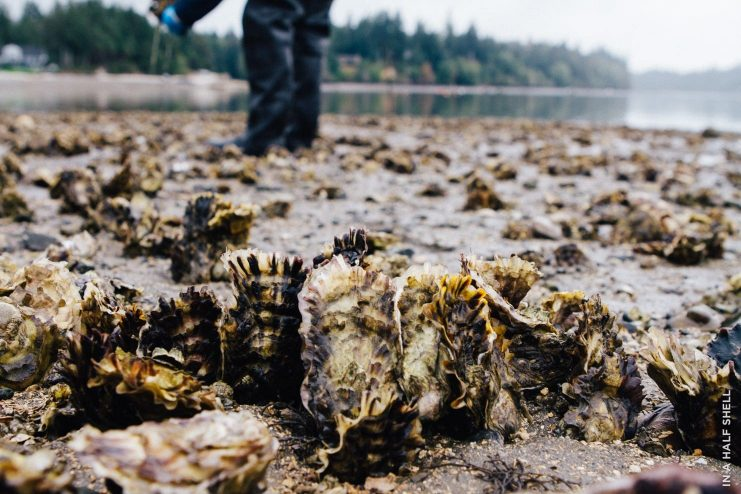 Bottom Raised Pacific Oysters at Taylor Shellfish Farms