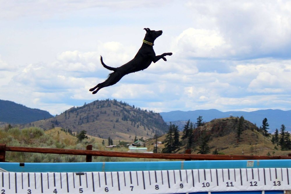 18 months later, Shelby set a Canadian dock diving record. She has since gone on to earn multiple rally, retrieving, and tracking titles