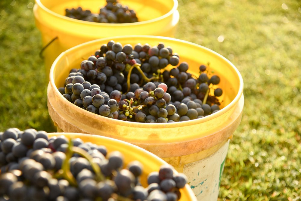 Raleigh Winery First Harvest-29.jpg