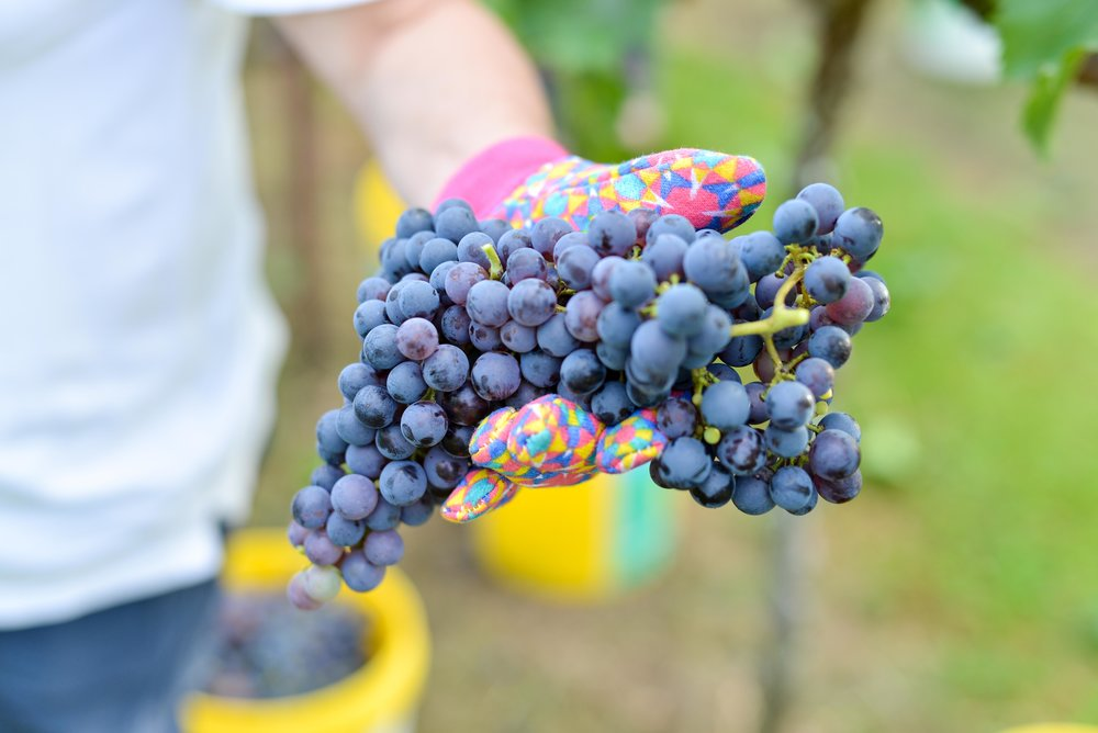 Raleigh Winery First Harvest-276.jpg