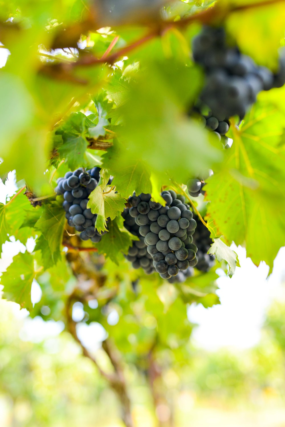 Raleigh Winery First Harvest-294.jpg