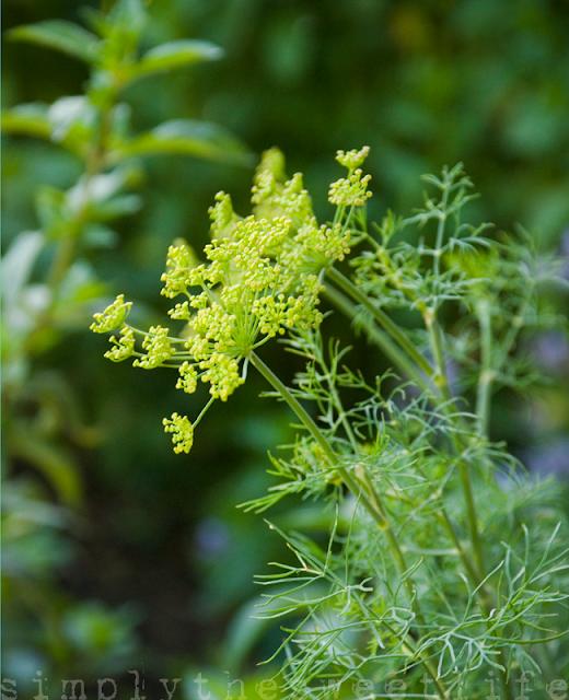 herbs dill sweet life garden.png