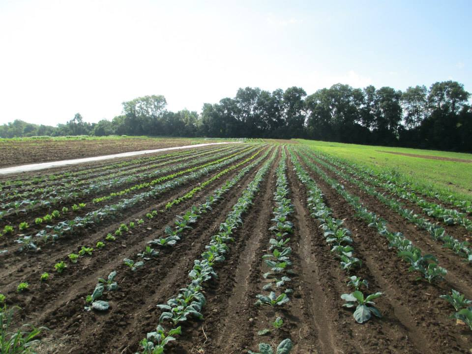Tom Paduano - long rows of brassicas.jpg