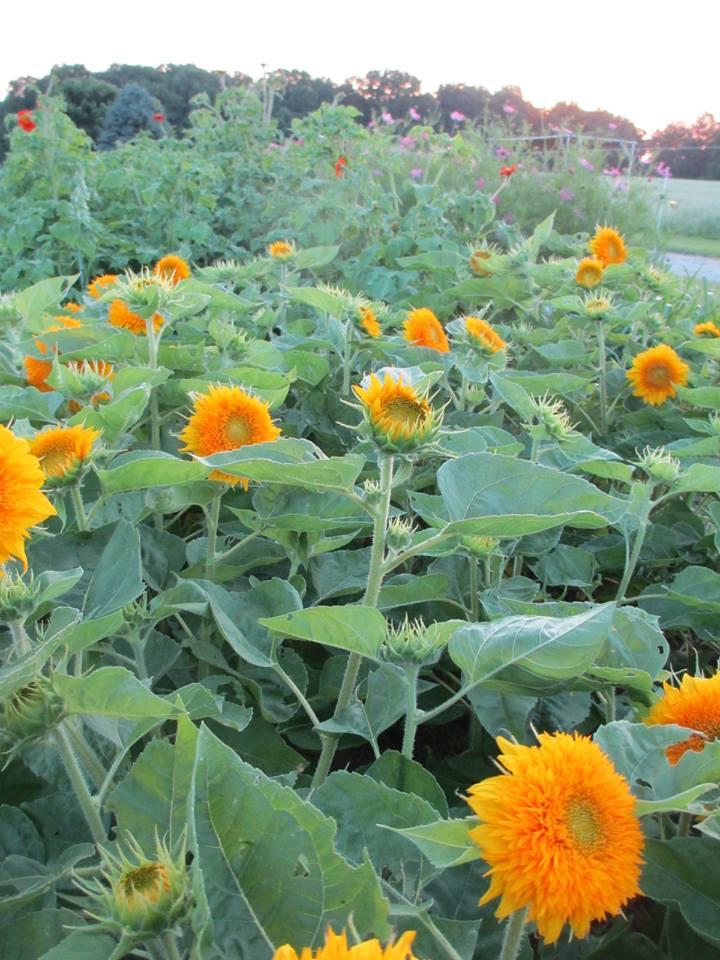 Tom Paduano - sun flowers.jpg