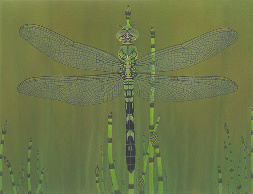 Eastern Pondhawk  Akitsushima (Isle Of The Dragonfly) Collection