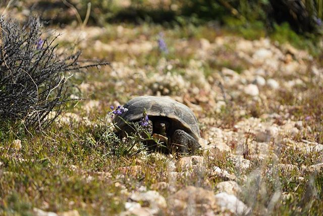 Here's some fun facts about the Desert Tortoise: •They were placed on the endangered species list in 1989 but has since moved to the threatened species list. They are threatened for a few reasons including loss of habitat, increased population of ravens, and becoming roadkill • Tortoises have existed in the desert for up to 20 million years • They spend up to 95% of their lives underground •Tortoises store water in their bladder like a canteen & reabsorb the water when needed during dry, summer months. They void their bladder when startled which can lead to death. For this reason, it's important to never handle or startle them  Tortoises have recently been spotted out & about in the park enjoying all of the delicious spring vegetation! If you're lucky enough to see a tortoise in the park, admire them from a distance and move slow to avoid startling them!