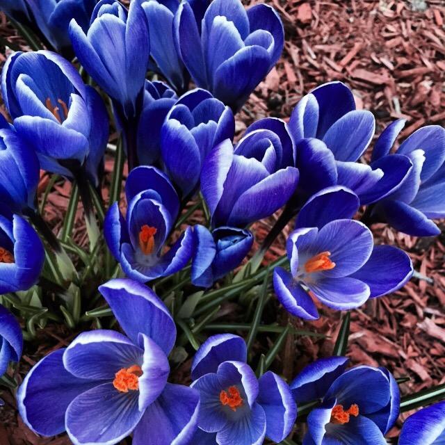 Spring Crocus, Spring, The Everyday Journalista