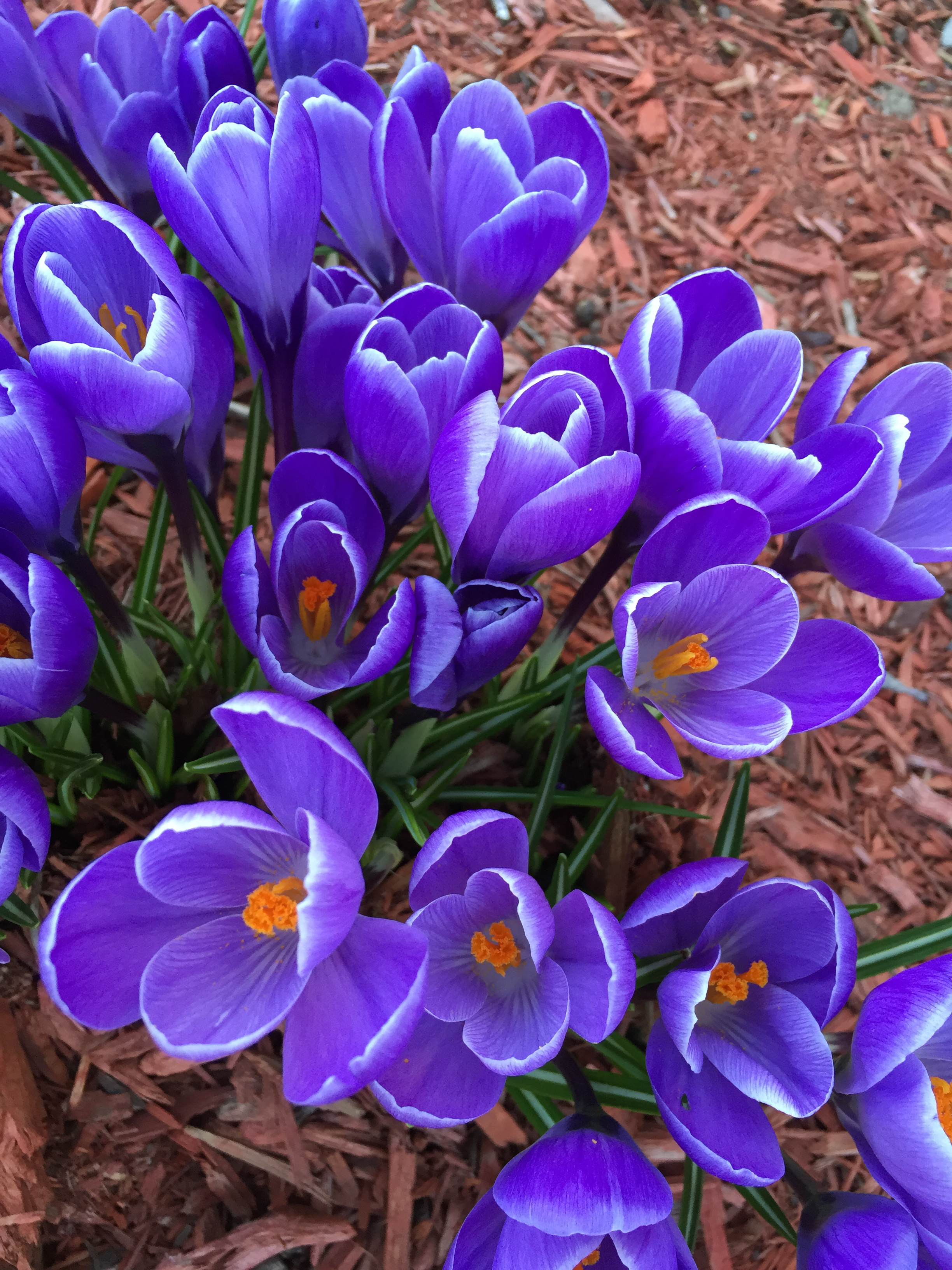 Spring Crocus, Spring, I love Spring, The Everyday Journalista