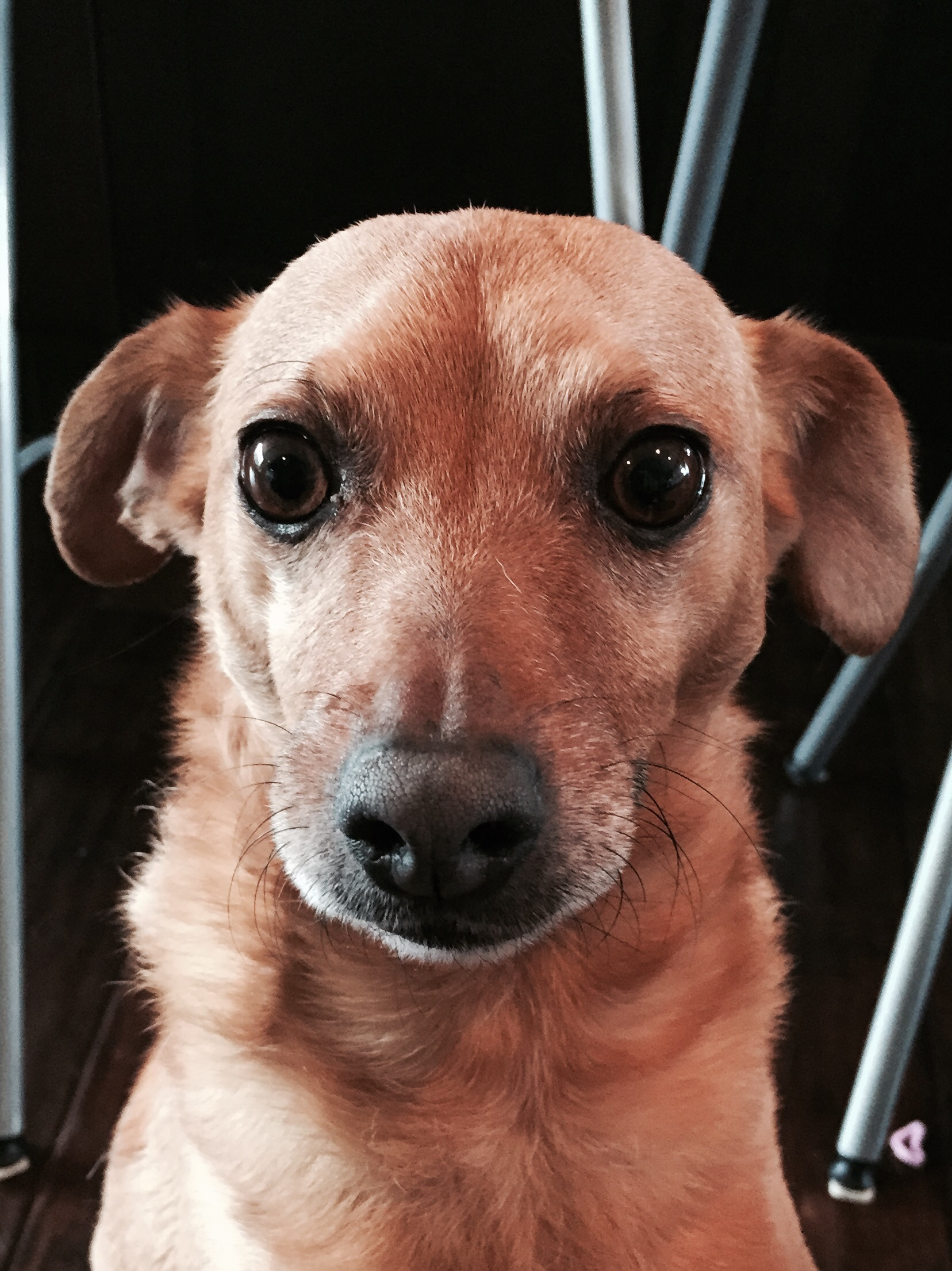 Kai, The Everyday Journalista, Everyday Journalista, Pet Rescue, Dog Rescue, Animal Rescue, High Kill Shelter, Mixed Breed, Chiweenie, Dogs, Pets, Pet Adoption, Animal Adoption, Dog Adoption,
