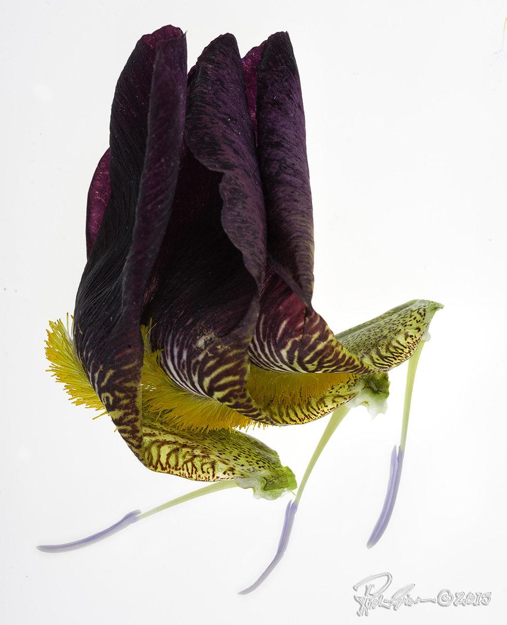 Three Iris Petals