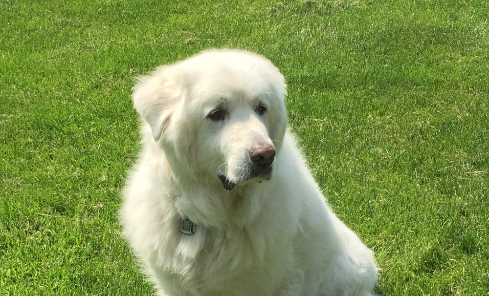 Great Pyrenees… - about the breed.