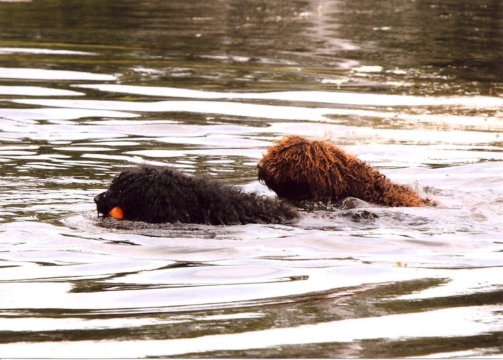 Paula Ballak - Biscay Water Dogs.jpg