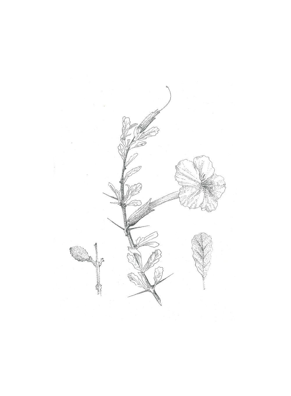 Trumpet Thorn (Catophractes alexandri)