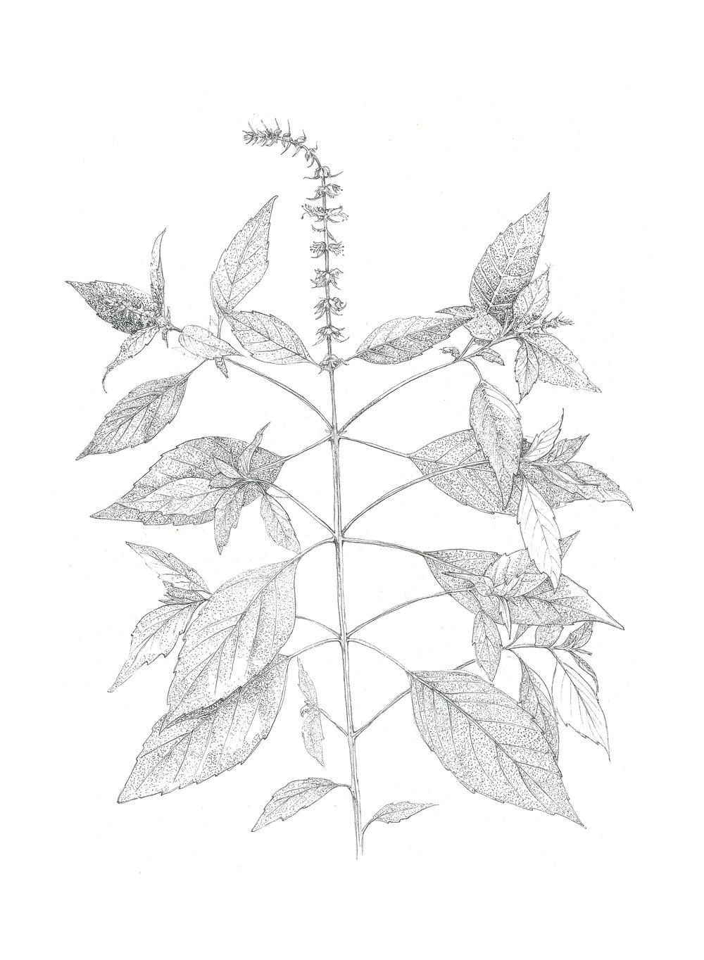 Ocimum americanum  (wild basil)