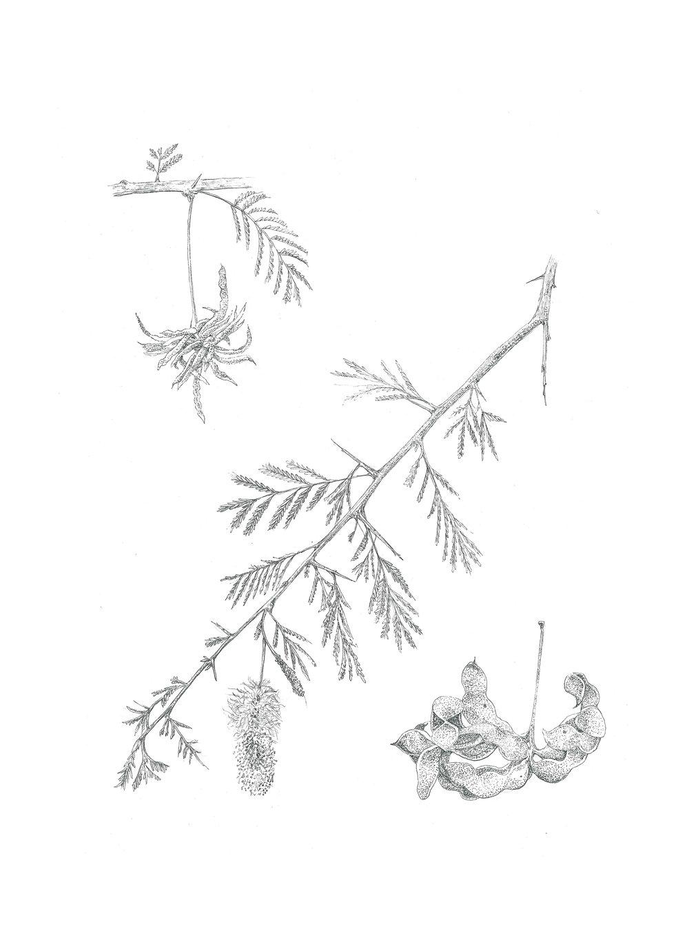 Dichrostachys cinerea  (Sickle bush)