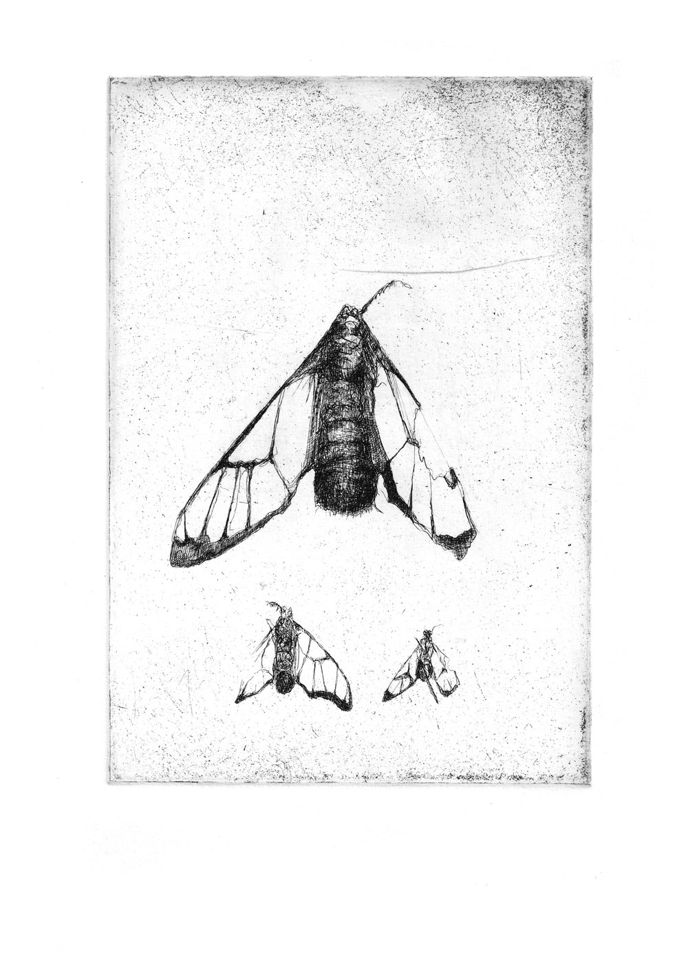 """Tiger Moth Study- Copper plate Etching8.3'""""x11.7"""""""