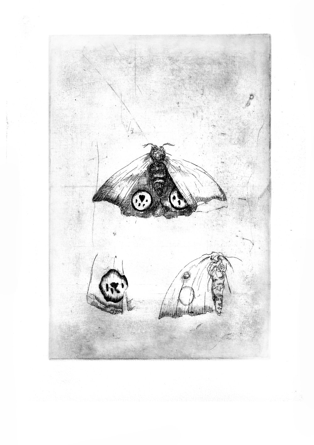 """Moth Study- Copper plate Etching8.3'""""x11.7"""""""