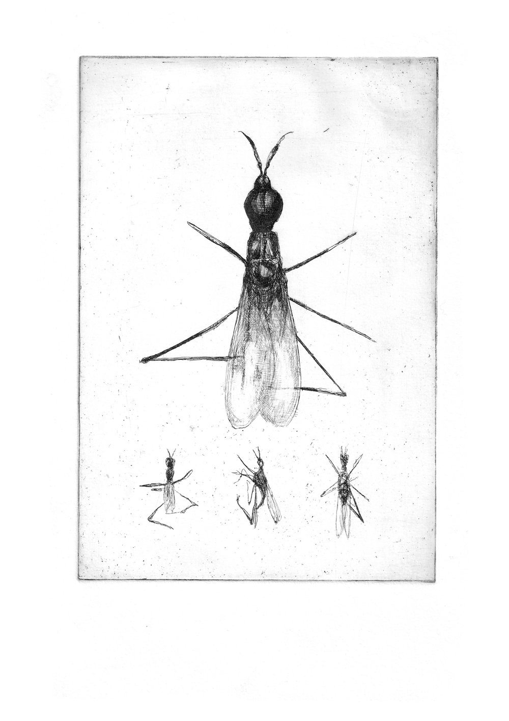 """Fly Study- Copper plate Etching8.3'""""x11.7"""""""
