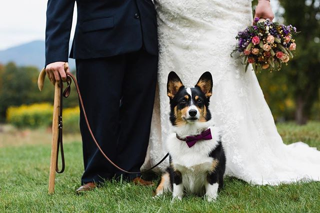 I love that every season I always have a few couples that include their pup in the wedding festivities 🐶❤️ #corgi #dogsatweddings #newhampshire